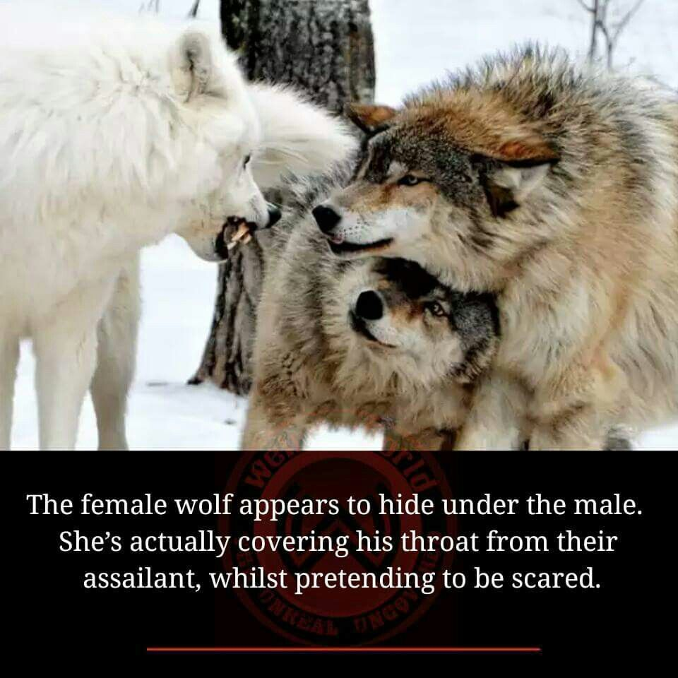 """Seriously?it amazes me what will pass as """"fact."""" The white wolf is a more dominate animal the 2 brown ones are subordinate. A female (or even male) has no reasons to protect the throat of a """"victom"""" wolf. I also believe these are all males based on size. I also think they are captive wolves. A wild pack wouldn't have such a dramatic color variation"""
