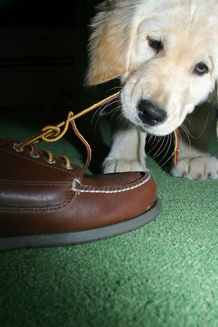 Golden Retriever Puppy Tugs At Shoe Laces Dog Lovers Puppies