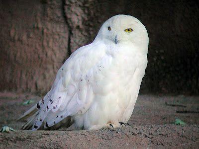 Pin De Marielos Lima En Animals Wow Lechuzas Blancas Owl Y Lechuzas