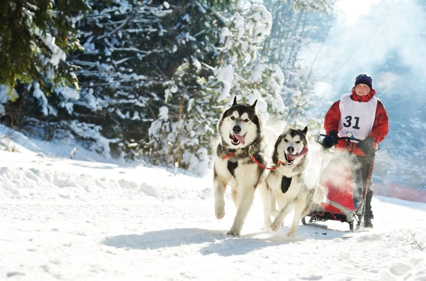 Learn The Art Of Mushing With A Pack Of Huskies In The