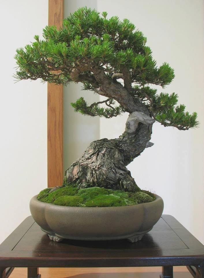 Plantas bonsai en Vizcaya. #Bonsaialambre #bonsaiplants
