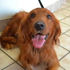 Adopt Kipper On Retriever Puppy Dogs Golden Retriever Pets
