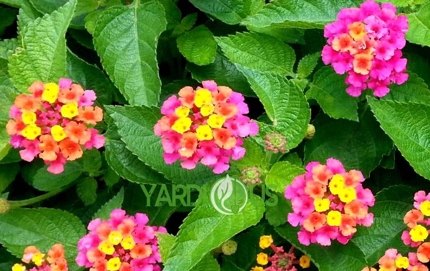 Most Accurate Information About Lantana Confetti Or Lantana Camara In 2020 Lantana Lantana Camara Amazing Flowers