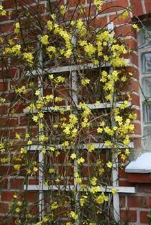 Jasminum nudiflorum salgshøjde 20-50 cm. - Vinterjasmin (NP) Blomstrer dec-marts