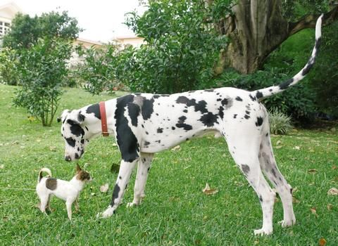 ♥this pic reminds me of my dachshunds encounter with a great dane
