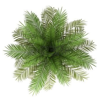 Plants Top View Of Date Palm Tree Isolated On White Background