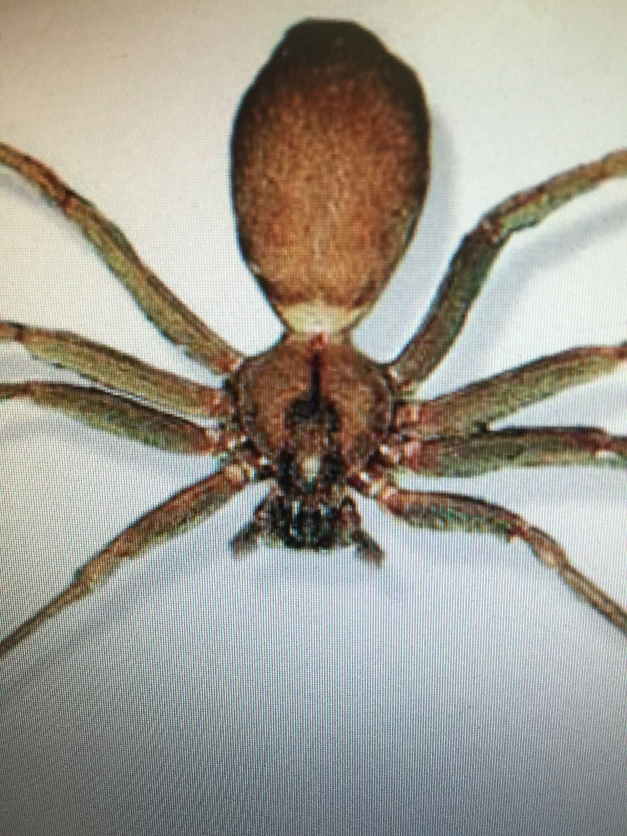Brown Recluse Spider - notice the \