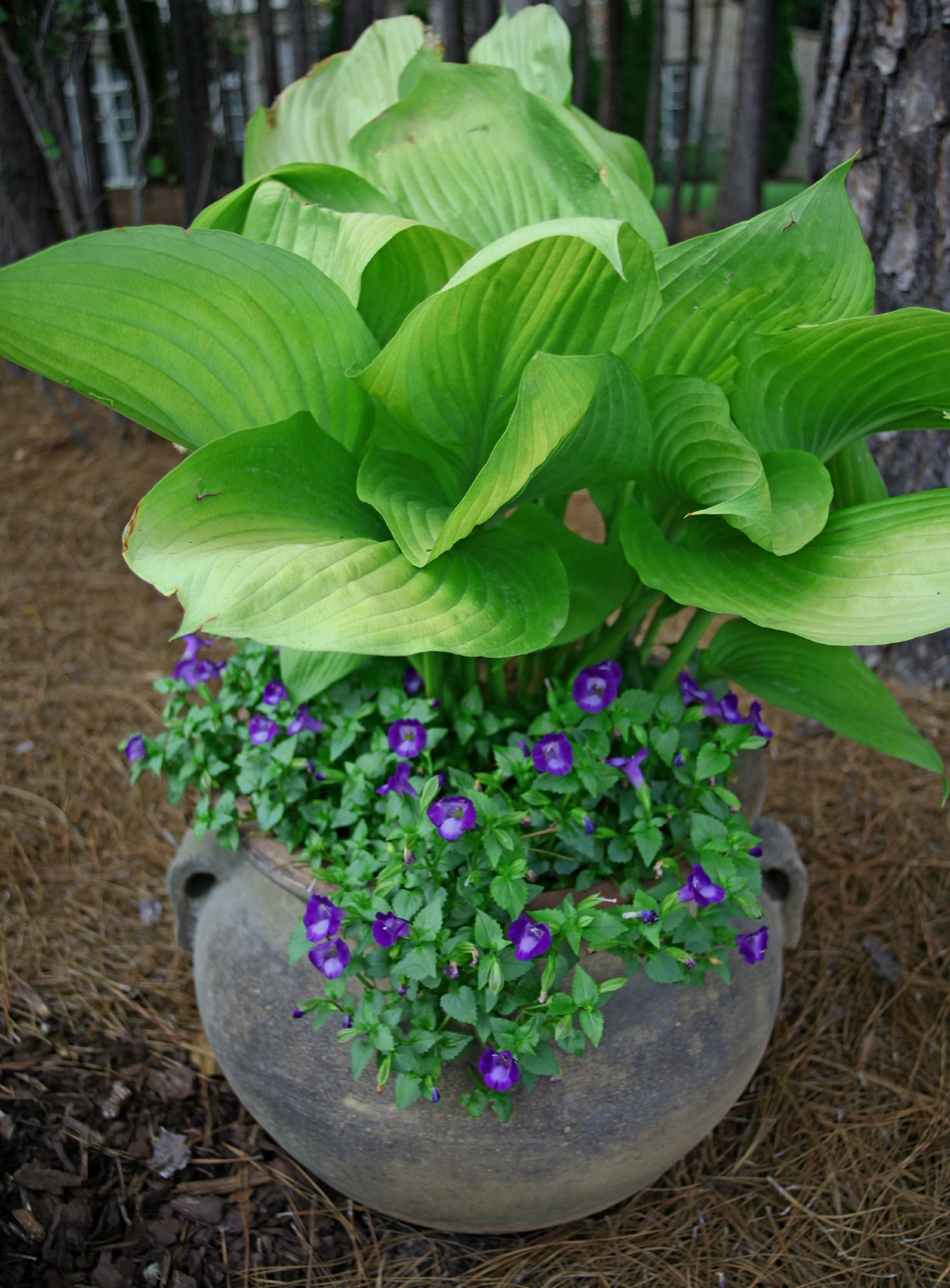 potted hosta violas i don t have good luck with hosta but this rh pinterest com
