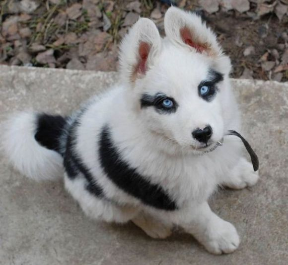 Download Puppy Blue Eye Adorable Dog - e14881d9b7607d45bacf5e9772c7f77f  Pic_479190  .jpg