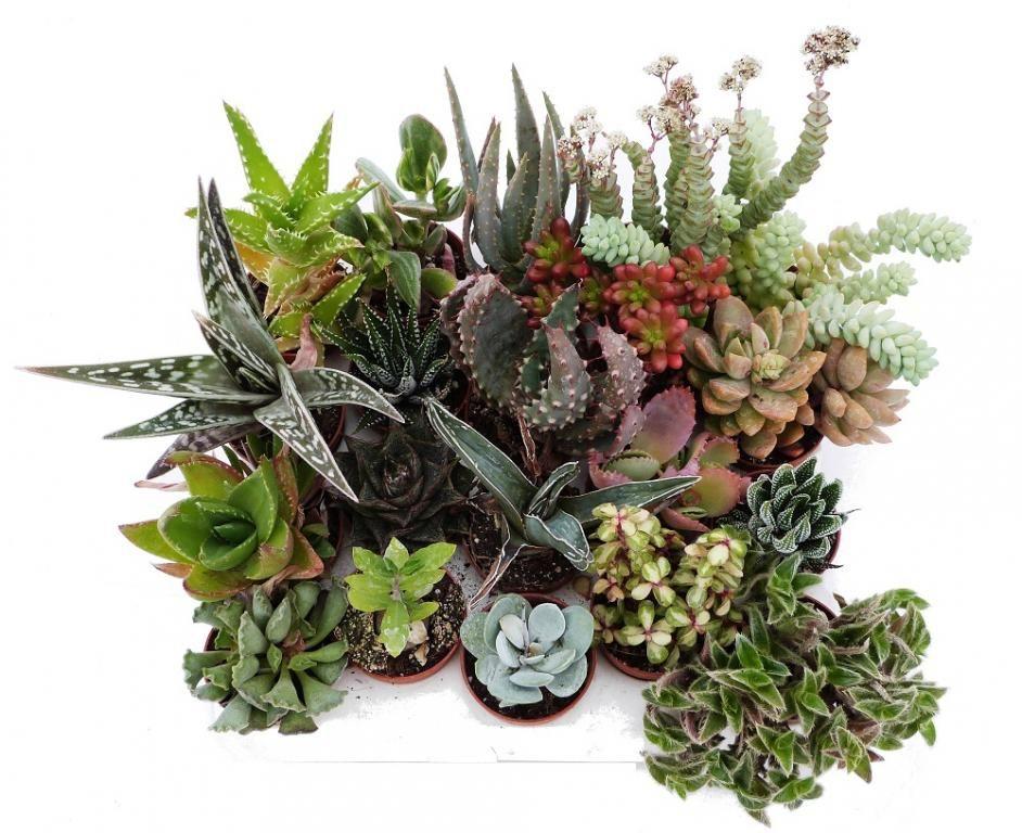 Sukulenty Domowe Kaktus Kaktusy Paletka 20szt 4996780472 Oficjalne Archiwum Allegro Succulents Plants Cactus