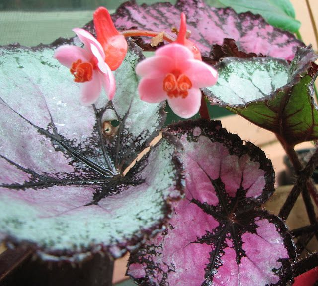 Rex Begonia Flower Purple Google Search Begonia Container Plants Tropical
