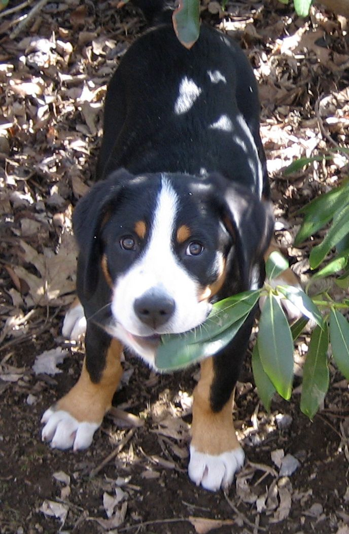 Prism Greater Swiss Mountain Dogs Home Of Fury Fender And Helix Great Swiss Mountain Dog Swiss Mountain Dogs Swiss Mountain Dog Puppy