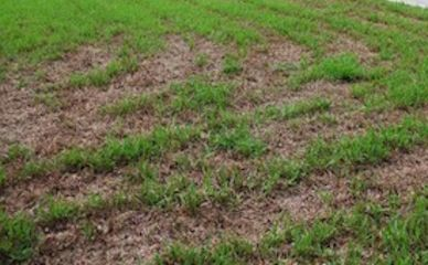 Repair Damaged Saint Augustine Grass Centipede Grass Grass Care Lawn Repair