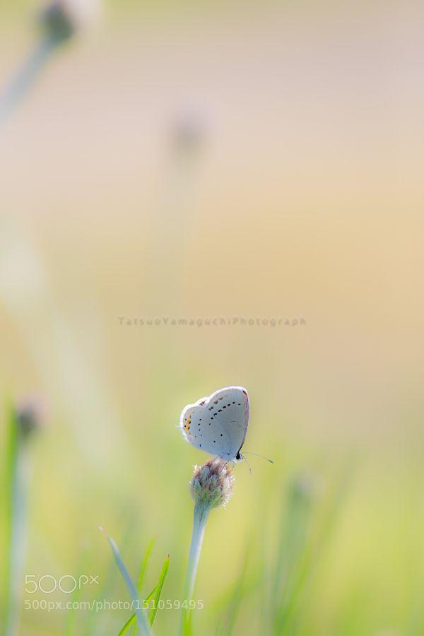 Lycaenidae by tatsuoyamaguchi via http://ift.tt/1VR0KGH