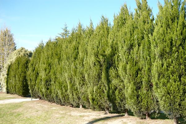 Best Screening Trees Shrubs For San Diego Part 1 Landscaping