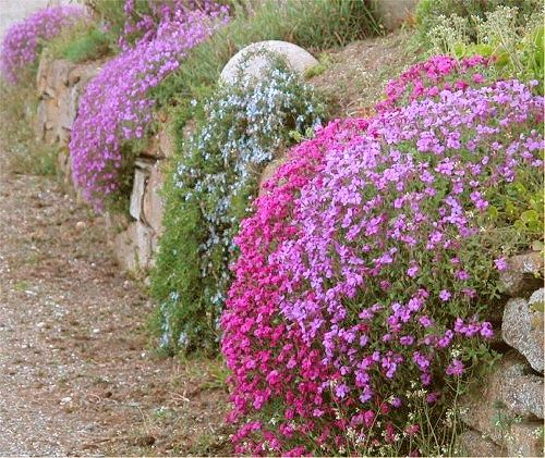 A Dry Stone Wall Planted With Phlo Aubrietia And Trailing Rosemary