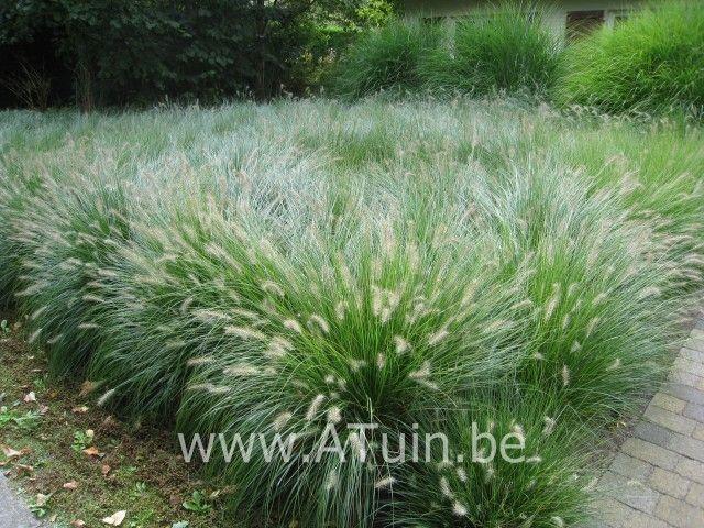Pennisetum alopecuroides - Borstelveergras