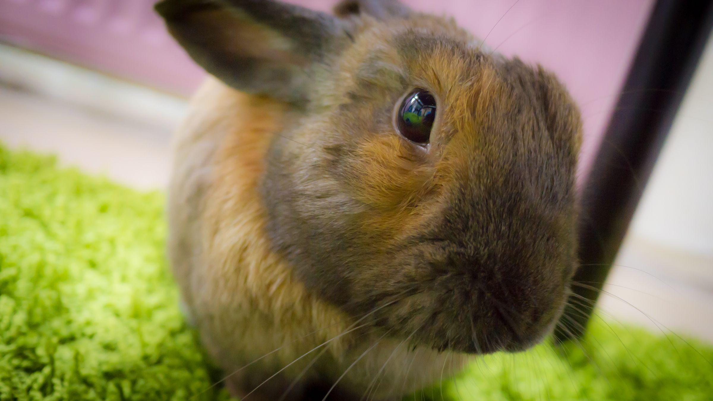 Cutie Posing For Desktop Wallpaper 3 Wallpapers Bunny Backgrounds