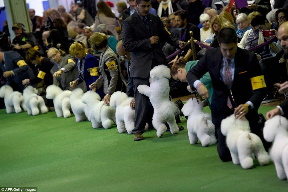 westminster kennel club show kicks off in new york city