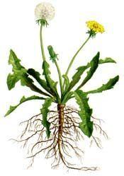 Botanical dandelion diagram google search tattoo pinterest botanical dandelion diagram google search ccuart Image collections