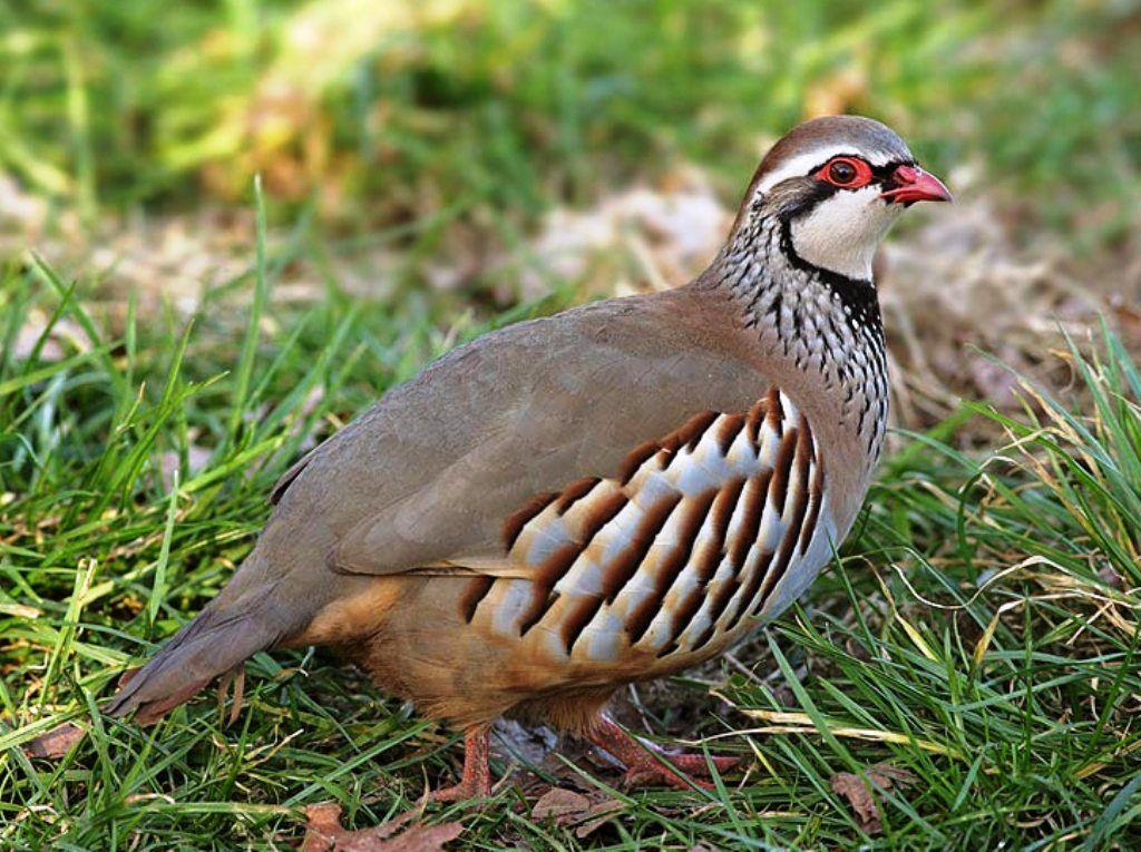 Red Leg Partridge Pet Birds Wild Birds Beautiful Birds