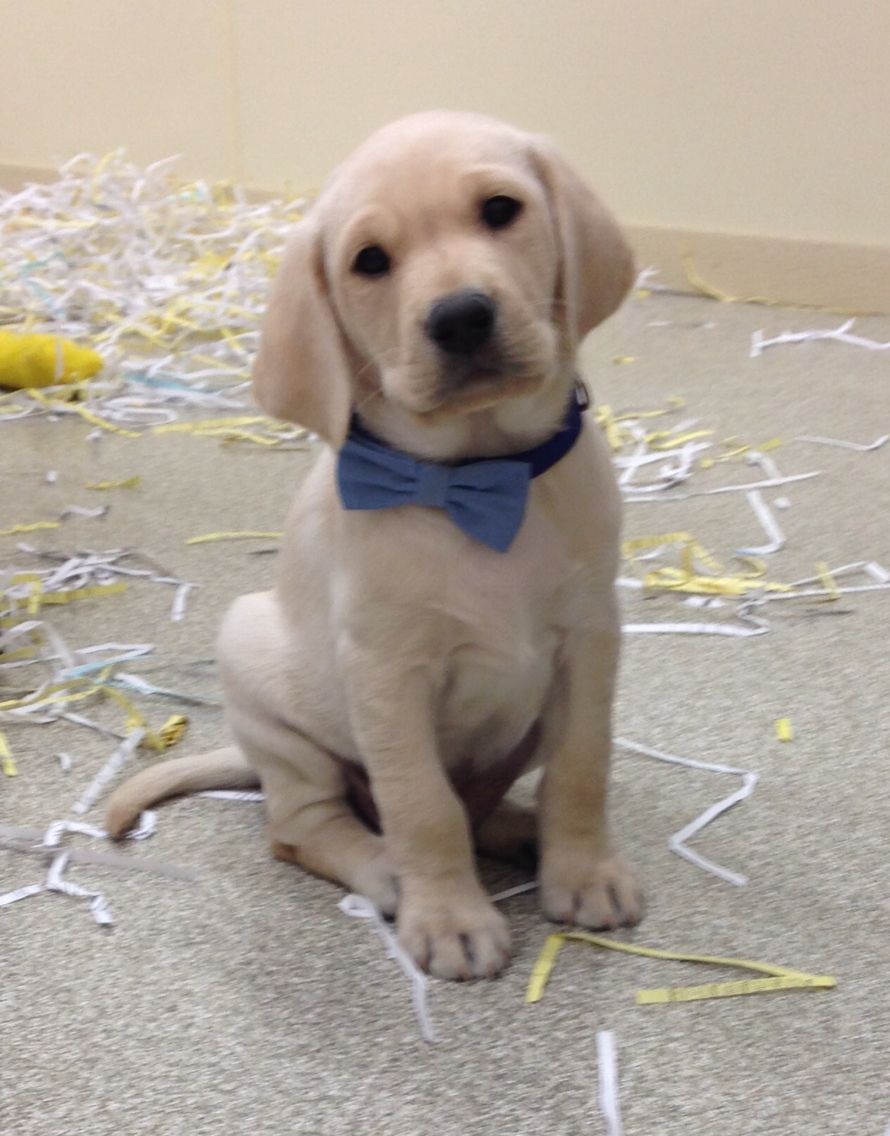 British Lab Puppies For Sale Mn