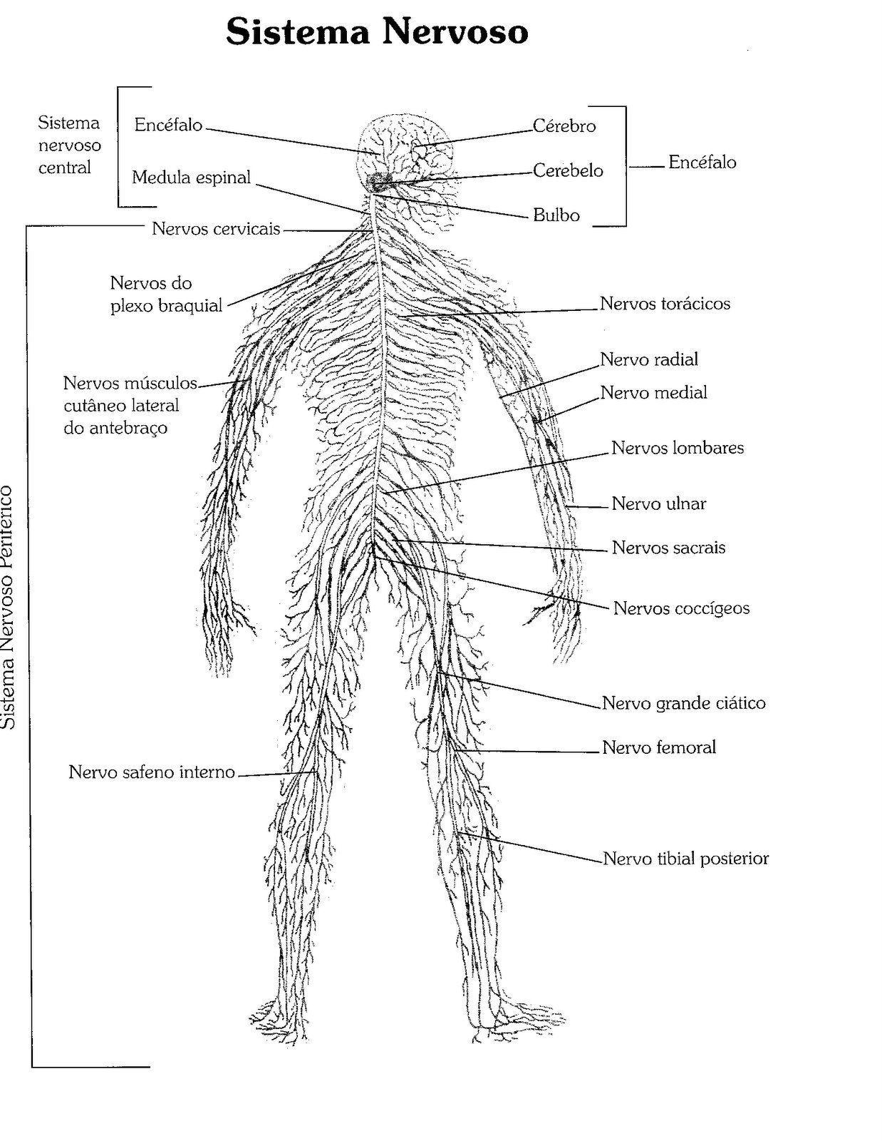 32 Desenhos de Anatomia Humana para Colorir e Imprimir - Online Cursos  Gratuitos em 2020 | Atlas do corpo humano, Corpo humano, Corpo humano para  colorir