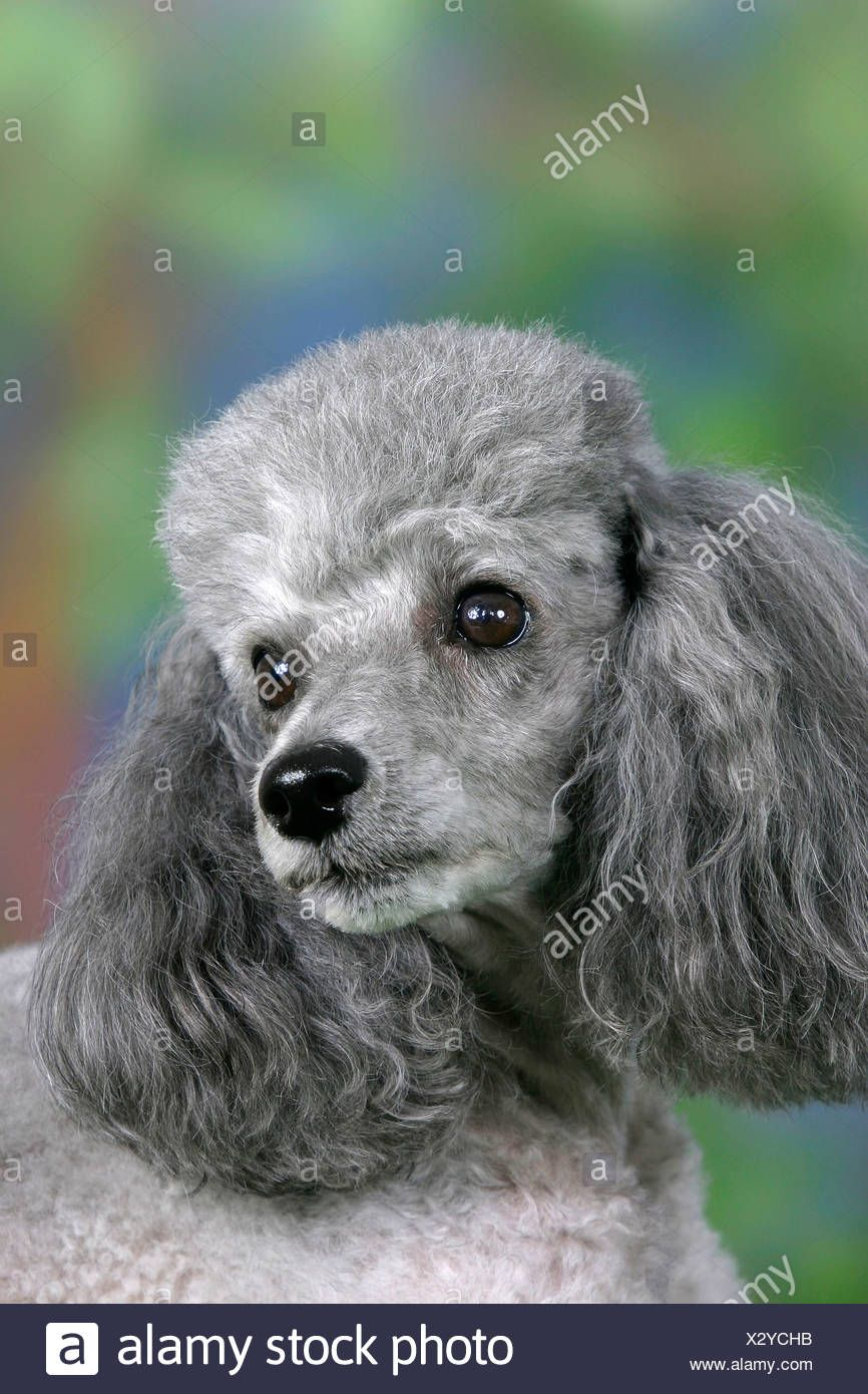 Image Result For Silver Toy Poodle Natural Dog Dog Lovers