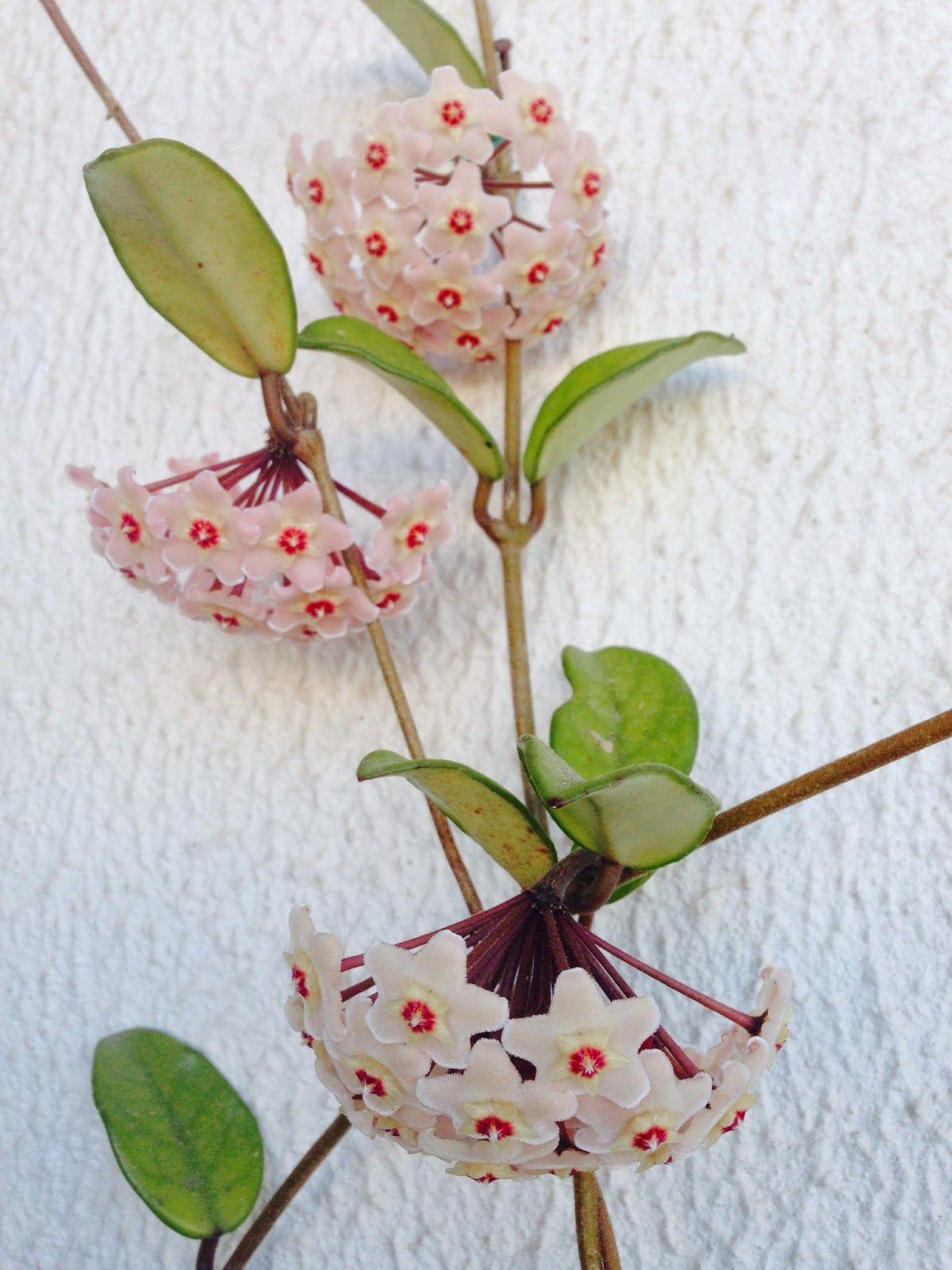 planta colgante flor de cera