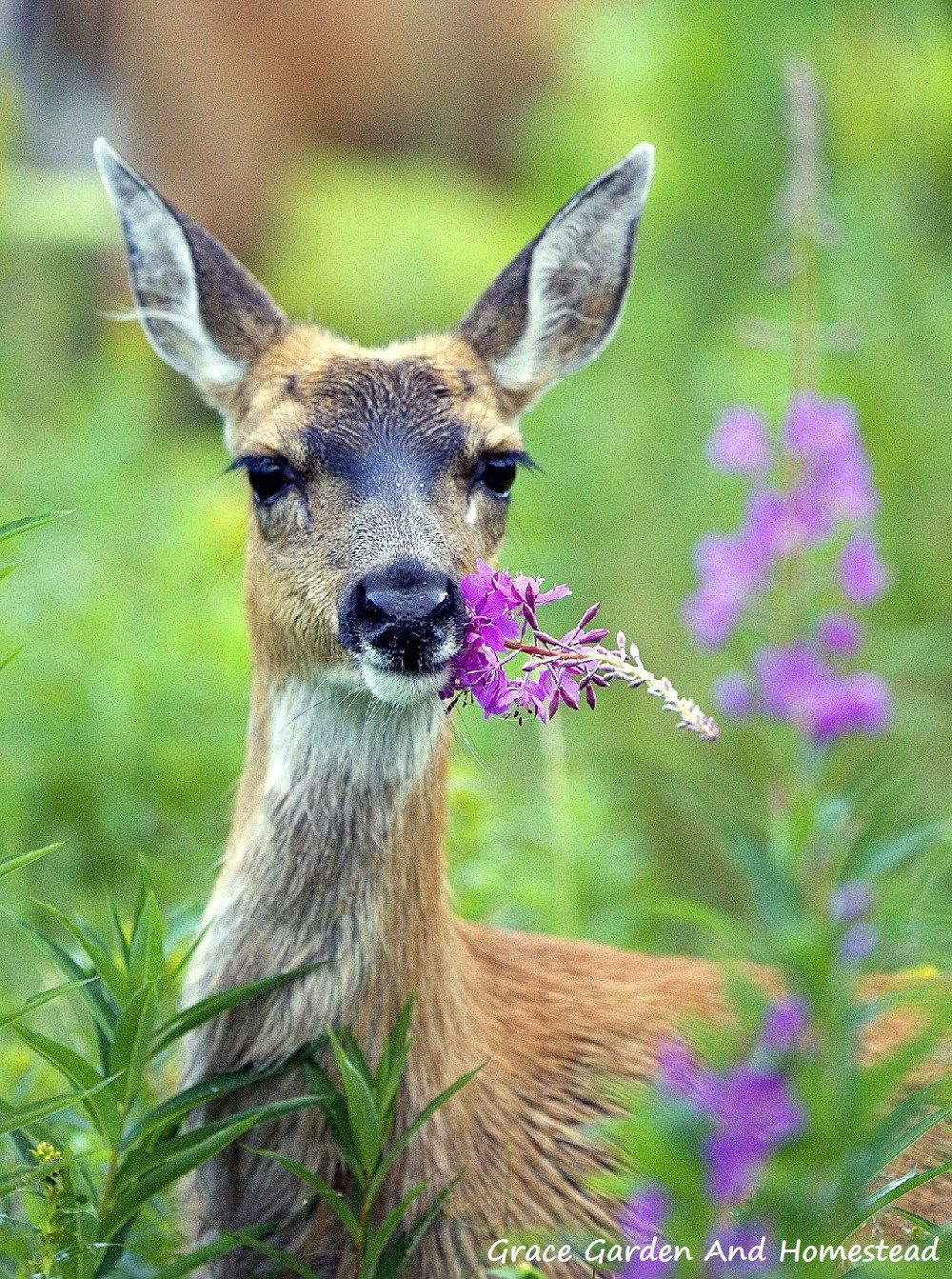 How To Keep Deer Out Of Your Garden Gardens Homesteads And