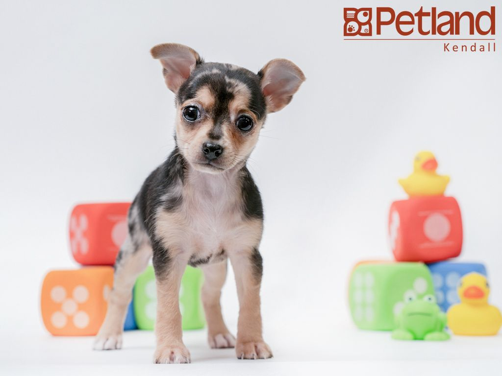 Chihuahua Puppies For Sale In Nc Craigslist 2021