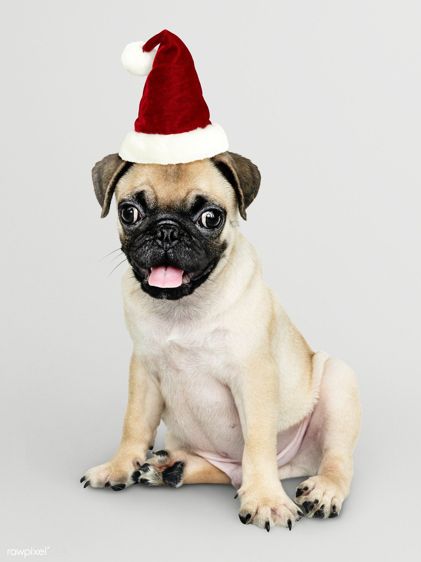 Download Premium Psd Of Adorable Pug Puppy Wearing A Christmas Hat