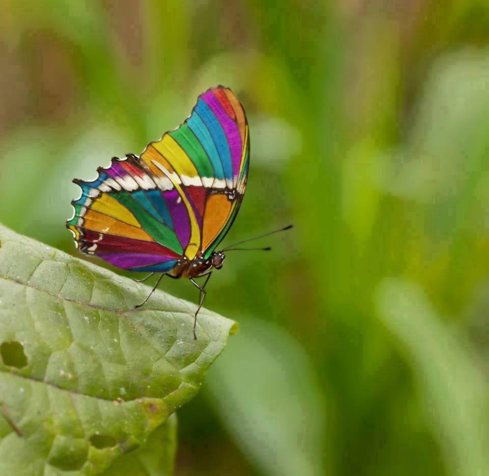 صور فراشة قوس قزح الملونة Rainbow Butterfly Beautiful Butterflies Butterfly Photos