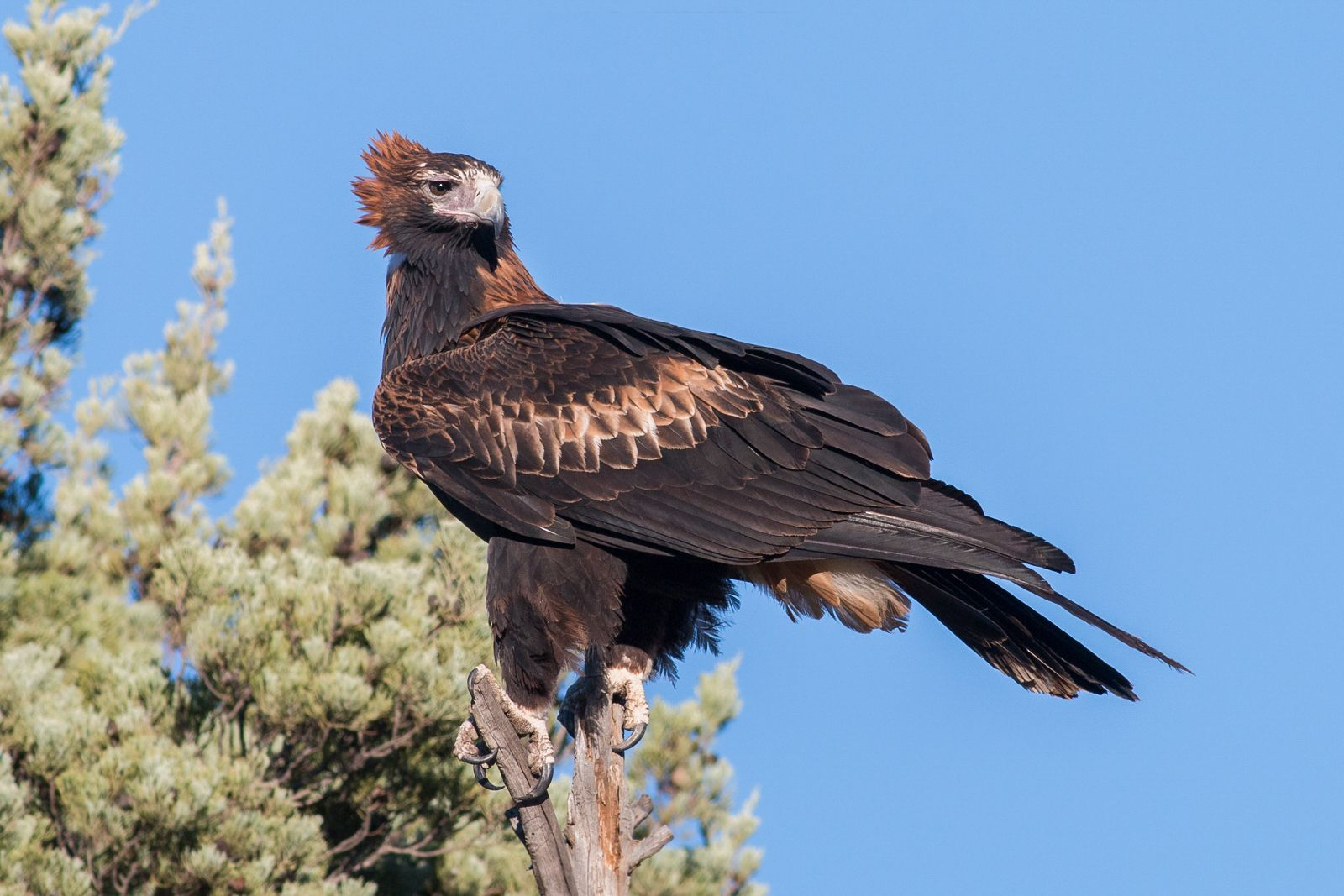 3521. Wedge-tailed Eagle (Aquila audax)  241be91e4a