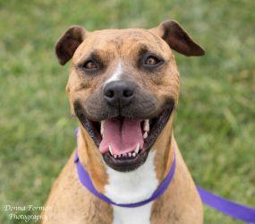 Adopt Cherry On Pet Adoption Positive Dog Training Pitbull Terrier