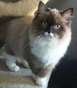Mink And Sepia Ragdoll Kittens And Cats For Sale In Georgia Ga Breeder Carolina Ragdoll Kitten Ragdoll Cat Kittens