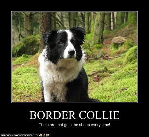 e151129482249f85d43819793145178a border collie meme pets pinterest collie, dog and border