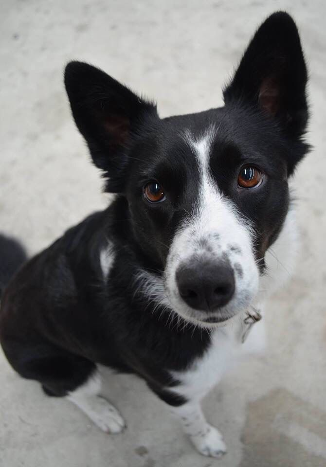 Luna Border Collie Short Haired Pawshake Merimbula Cute Dogs Breeds Border Collie Puppies Short Haired Dogs