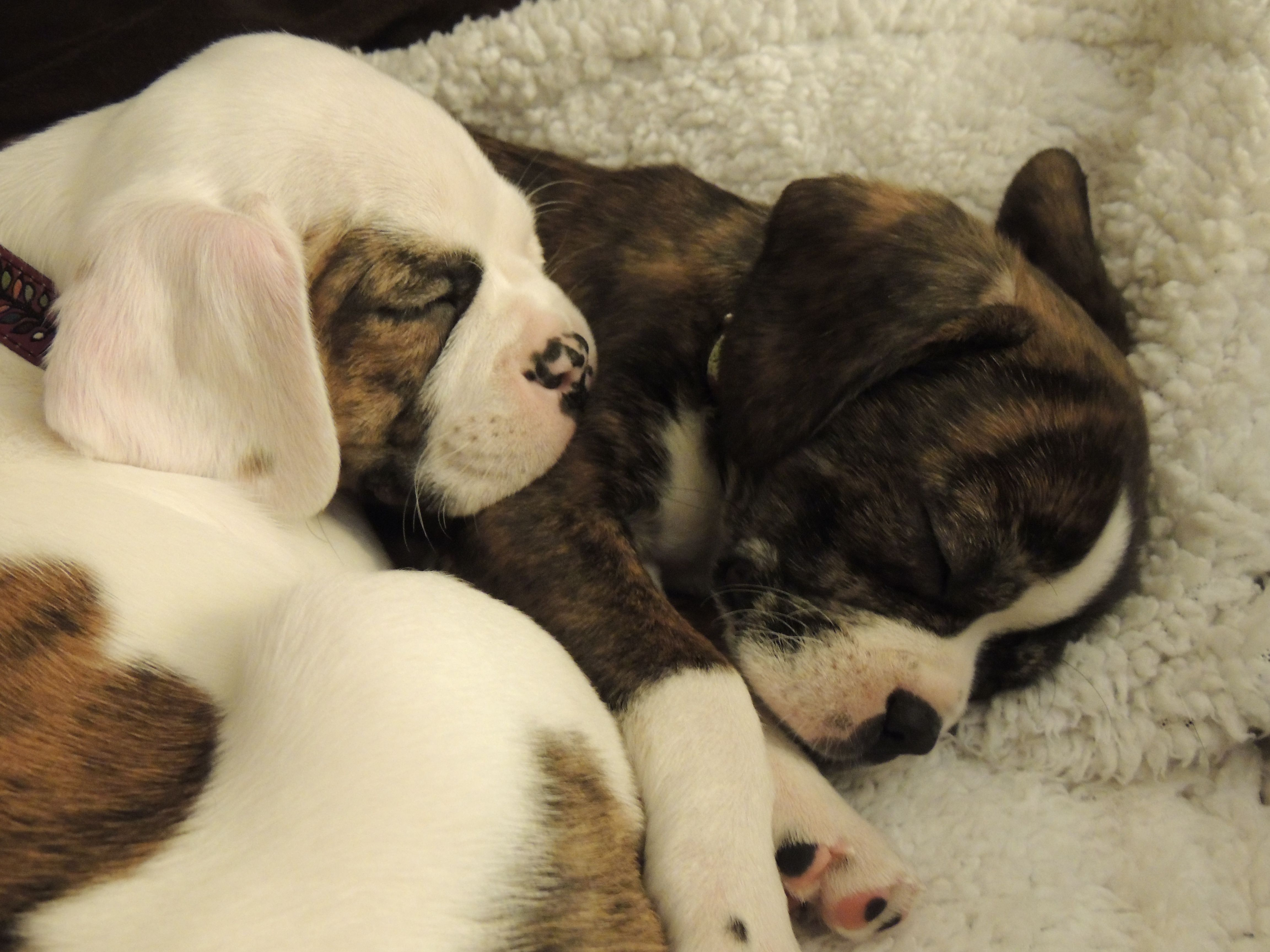 Boston Terrier King Charles Mix Boston Terrier I Love Dogs Christmas Puppy