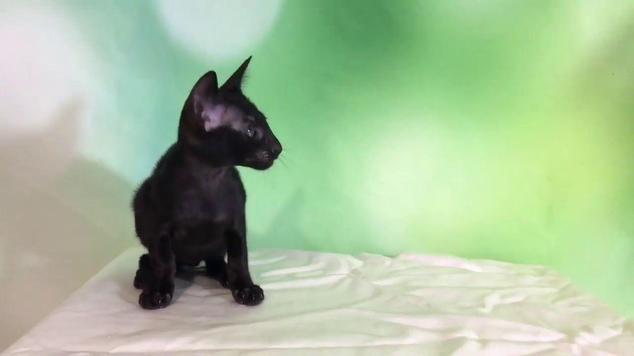 Images - Ebony kittens