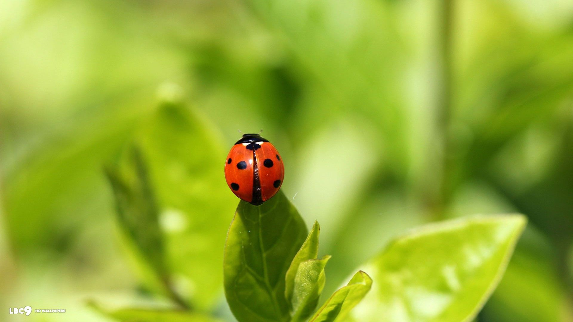 322 ladybug hd wallpapers | backgrounds - wallpaper abyss | images