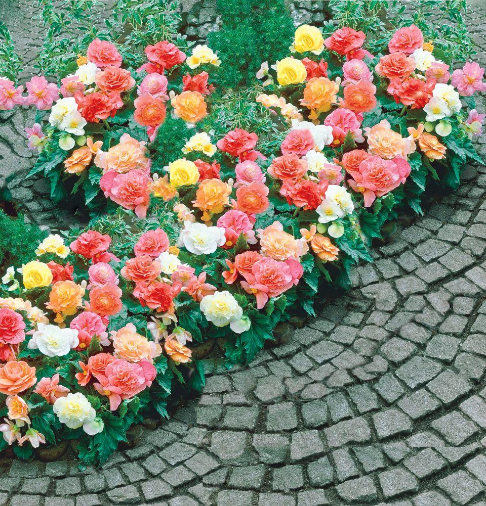 Pastel Begonia Mix Con Imagenes Plantas De Sombra Plantas Sombra