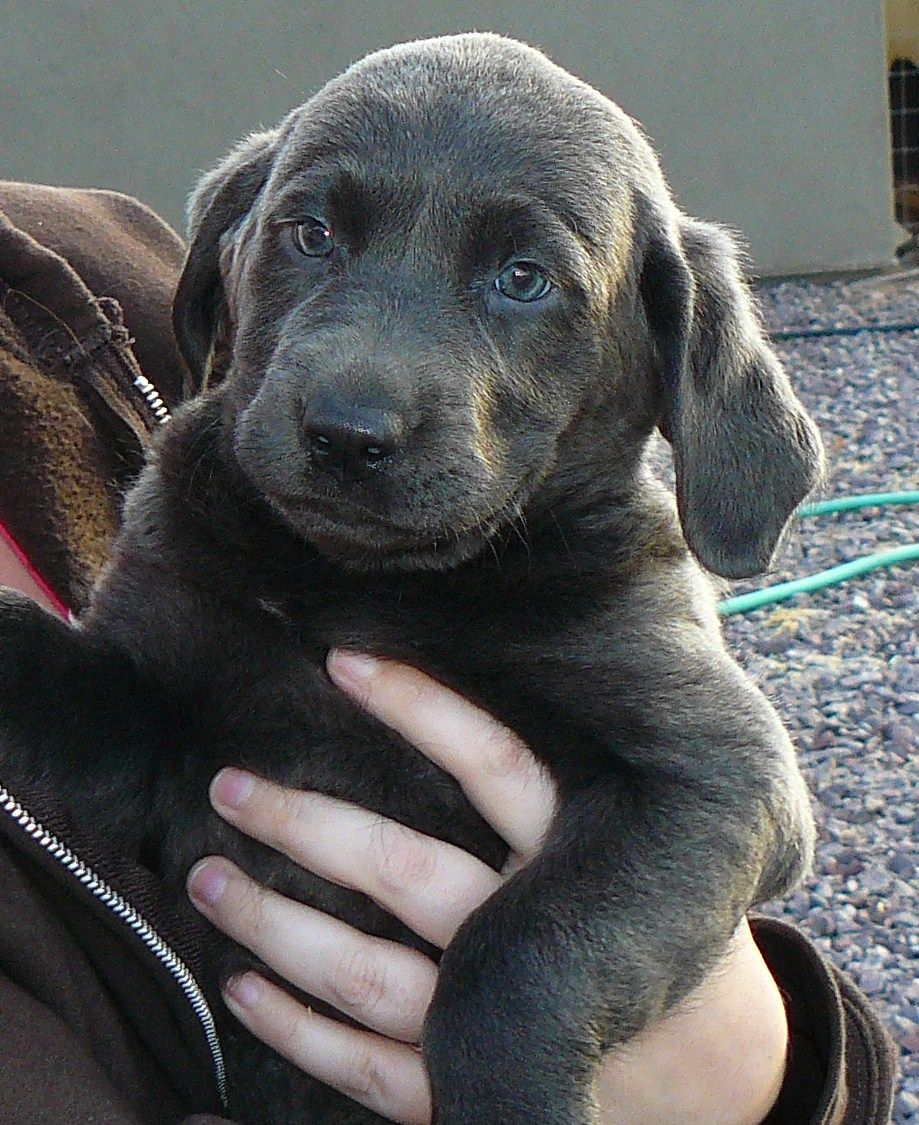 Charcoal Labrador Puppy... This will be my next dog