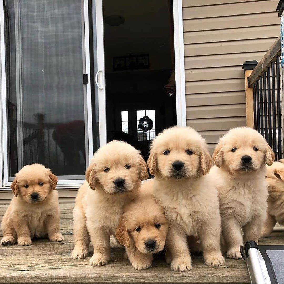Say Hello To My Little Friends In 2020 Cute Dogs And Puppies Cute Puppies Labrador Retriever Puppies