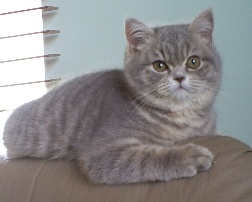 Blue Tabby British Shorthair Female British Shorthair Cat Scottish Fold Cat Colors