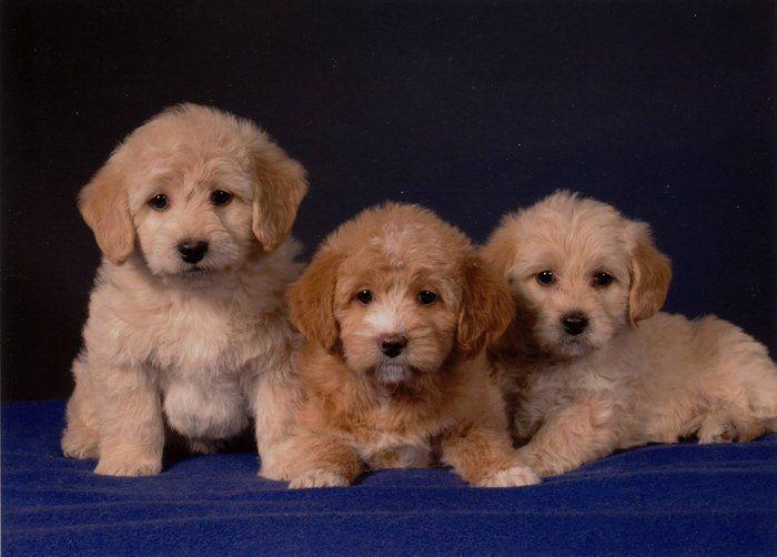 Labradoodle Puppies Mini Toy 1550