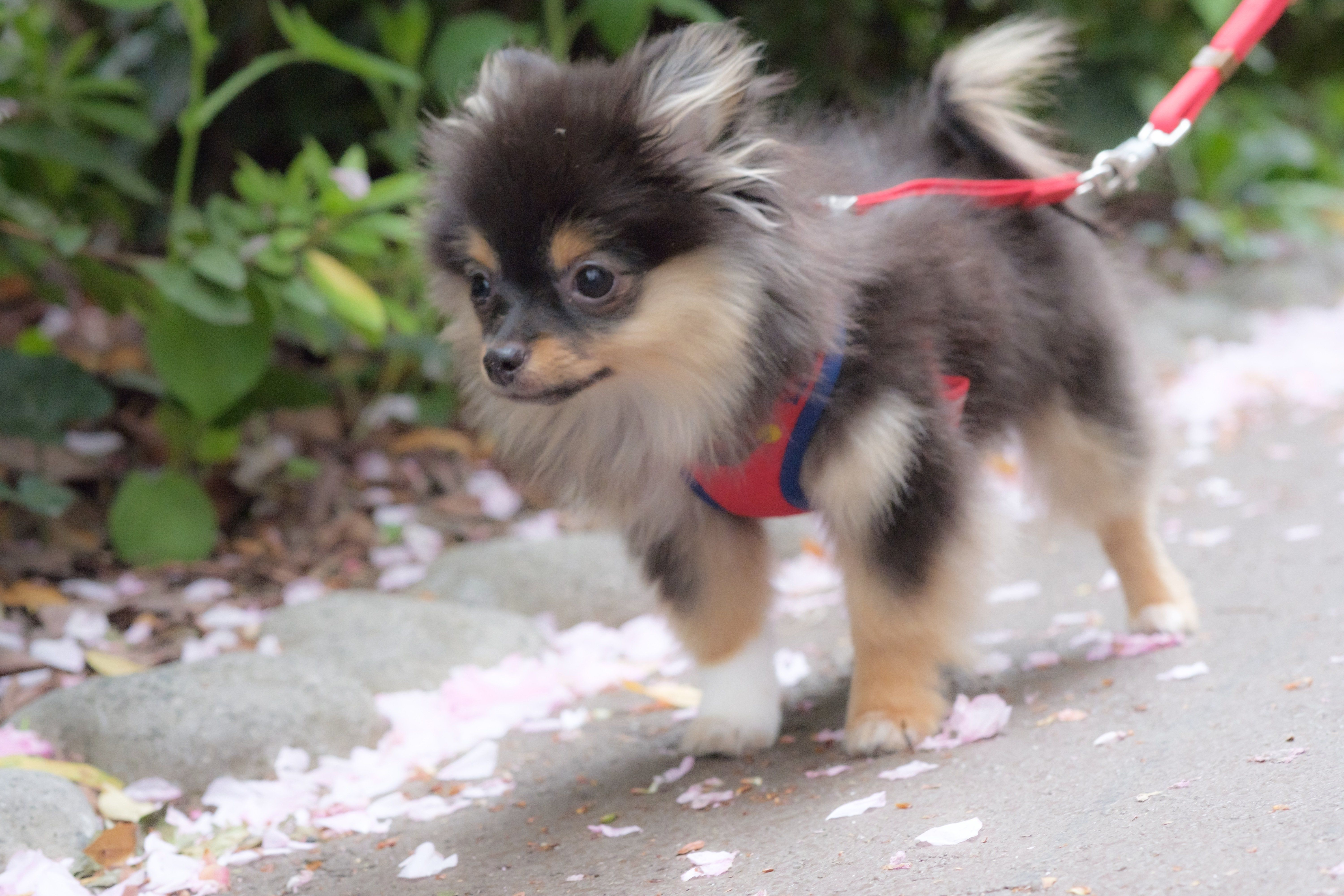 Pomchi Mixed Dog Breed Pictures Characteristics Facts In 2020 Dog Breeds Pictures Dog Breeds Mixed Breed Dogs