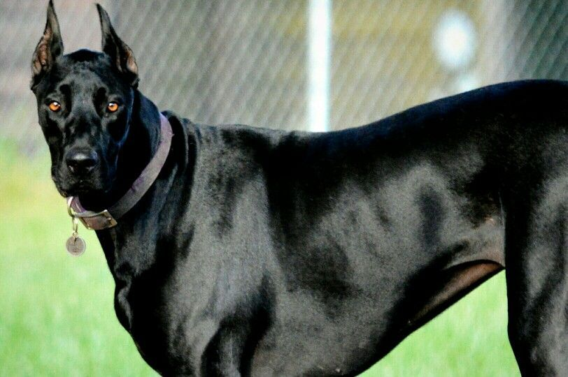14 Awesome Doberman Mixes You Need To Feast Your Eyes On
