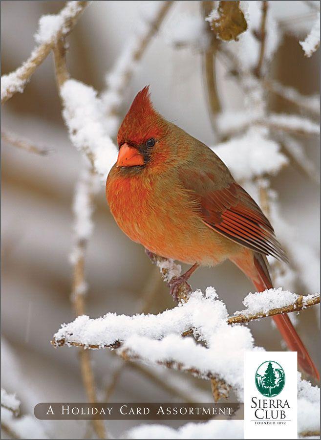 cardinal | Wv Snow Birds | Pinterest | Birds, Cardinals and Cardinal ...