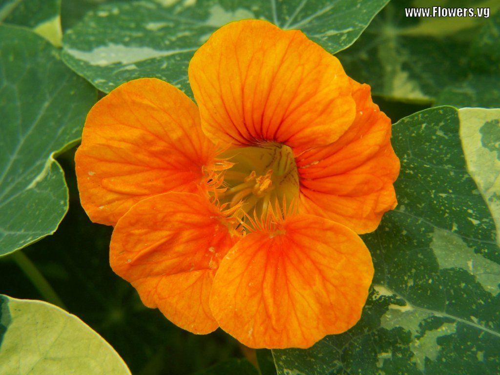 Orange With Variegated Leaves Nasturtium Pinterest Gardens And